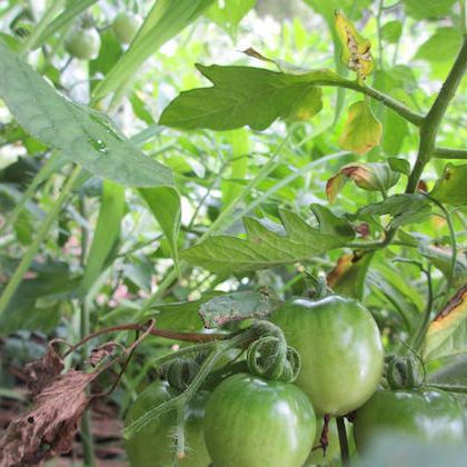 畑 自然 野菜 オーガニック リラックス